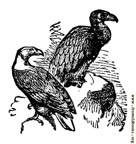 [Picture: The Kite and the Vulture]