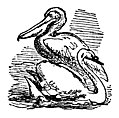 The Pelican and the Swan
