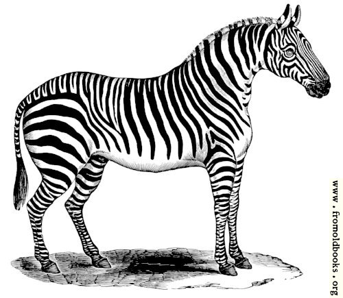 [Picture: 0987.—Zebra standing at rest.]