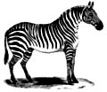 [picture: 0987.---Zebra standing at rest.]