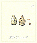 70. Field Gromwell Seeds