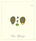 [picture: 77. Sun Spurge Seeds]