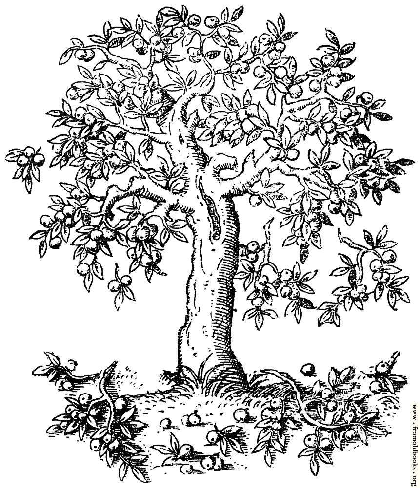 322 Apple Tree Pyrus Malus C S