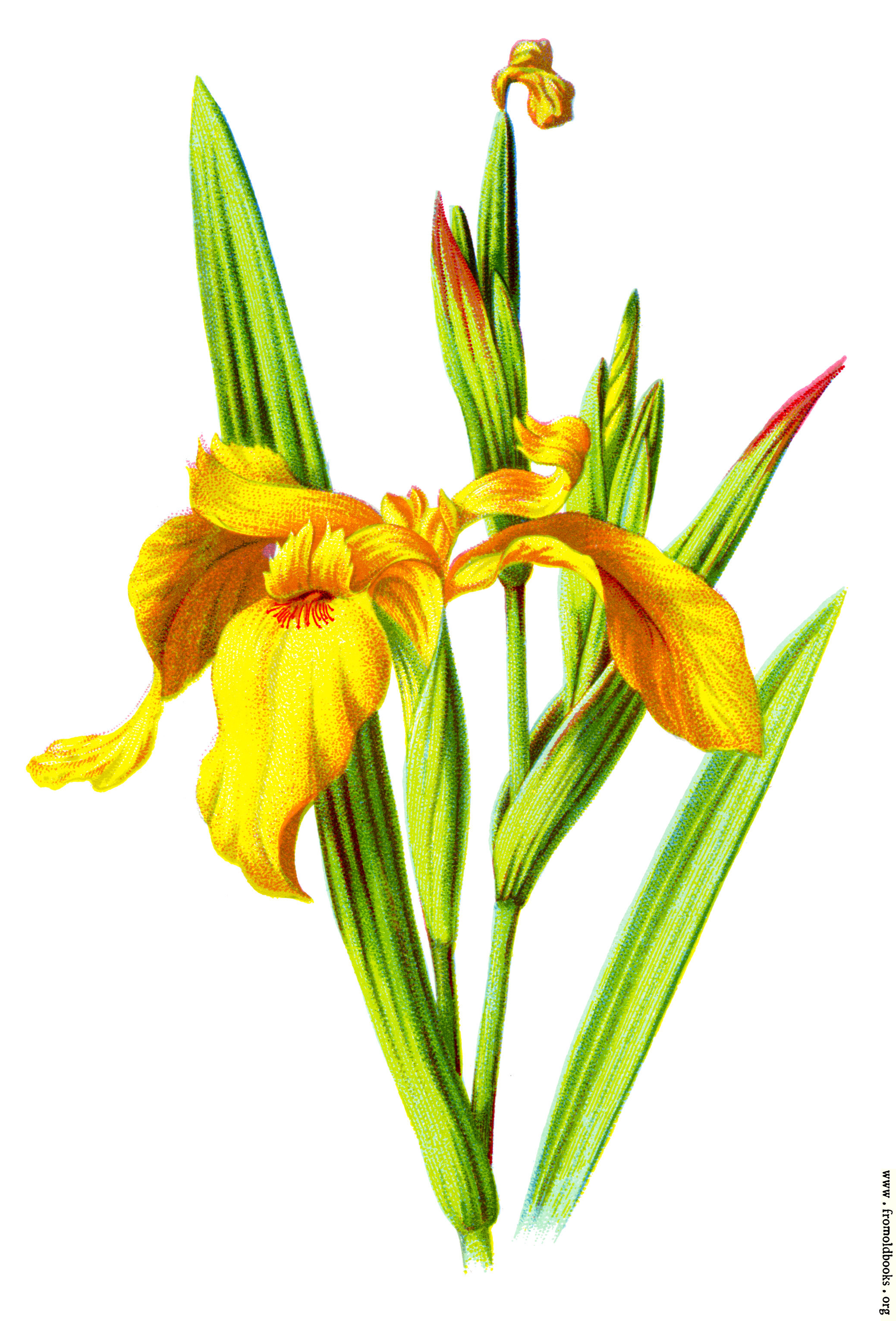 yellow iris, Natural flower