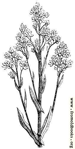 60.—Woad  (Isatis Tinctoria)