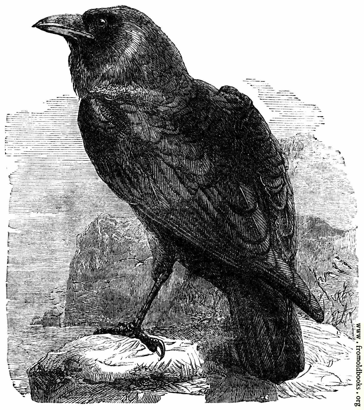 [Picture: The Raven (Corvus Corax)]