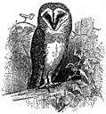 [picture: The Barn Owl (<i>Strix flammea</i>)]