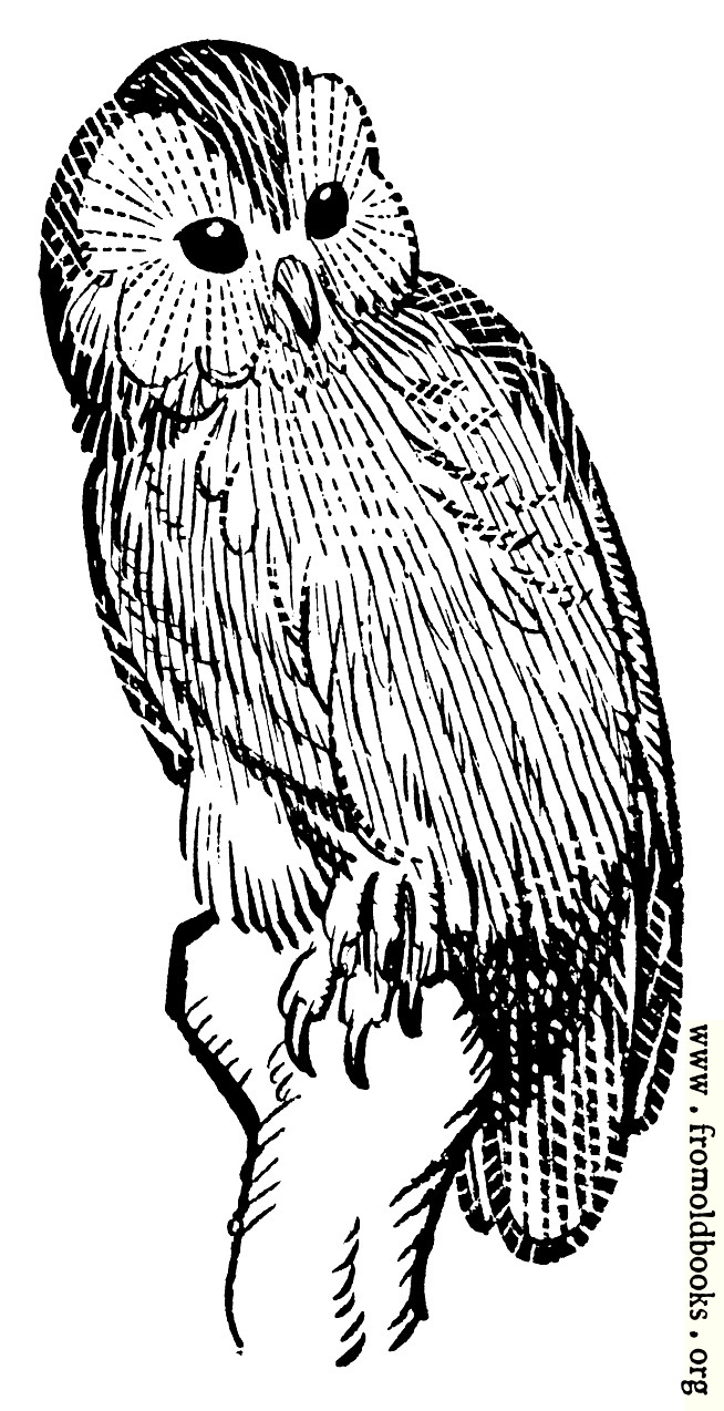[Picture: Barn Owl]