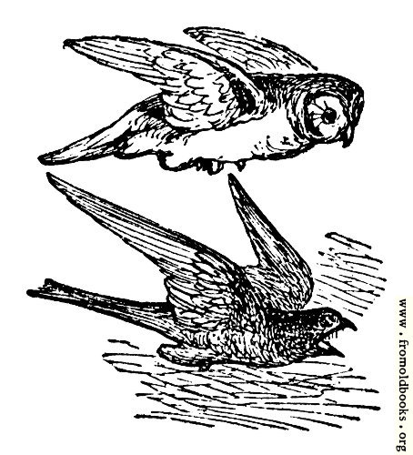 [Picture: The Owl and the Night Hawk]
