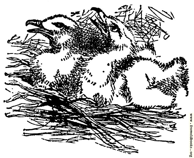 [Picture: Egrets in a Nest, from the book of Deuteronomy ch. 32 v. 11]