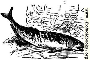[picture: Fish of the sea, from p. 69]