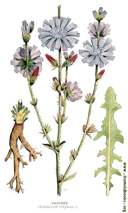 [Picture: 30.—Chicory, Cichorium Intybus, L.]
