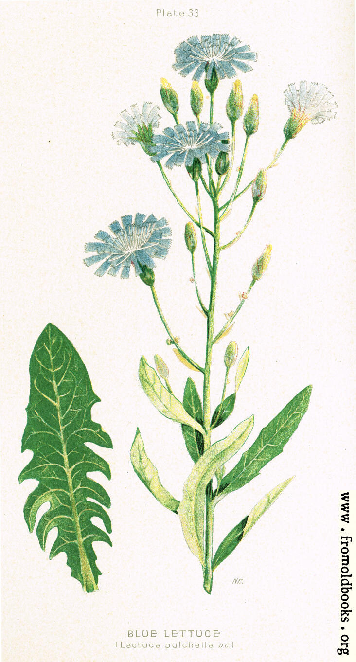 [Picture: Blue Lettuce, Lactuca pulchella, DC.]