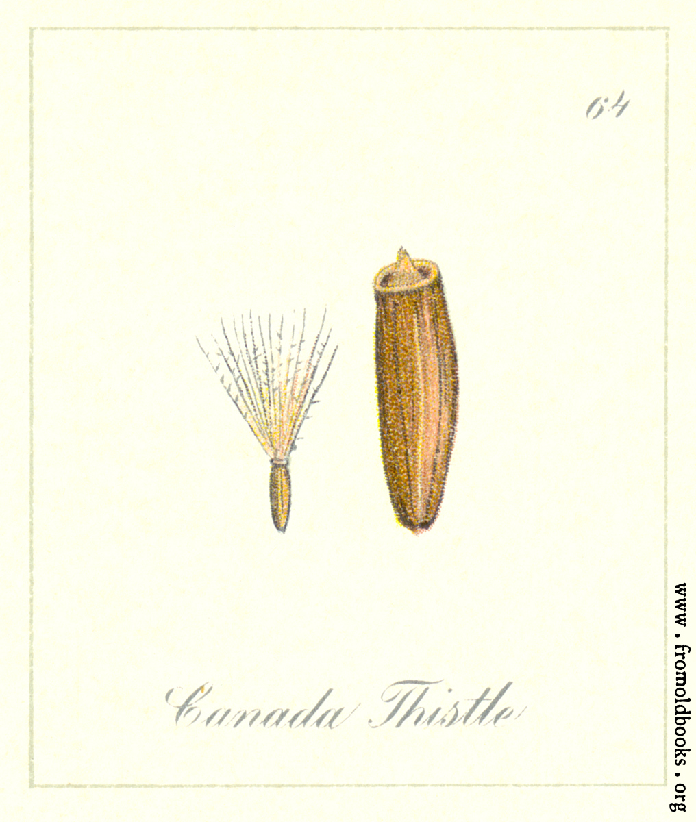 [Picture: 64. Canada Thistle seeds]