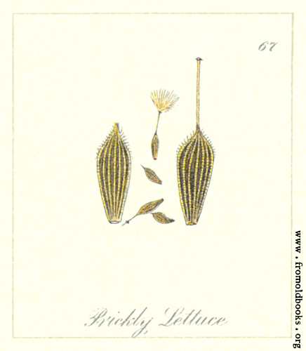 [Picture: 67. Prickly Lettuce Seeds]
