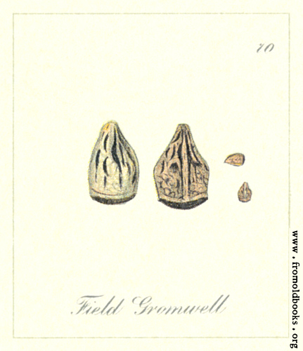 [Picture: 70. Field Gromwell Seeds]