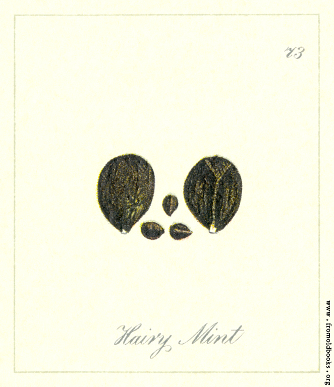 [Picture: 73. Hairy Mint Seeds]