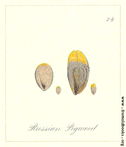 [Picture: 74. Russian Pigweed Seeds]