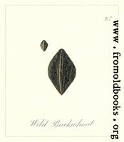 [Picture: 75. Wild Buckwheat Seeds]