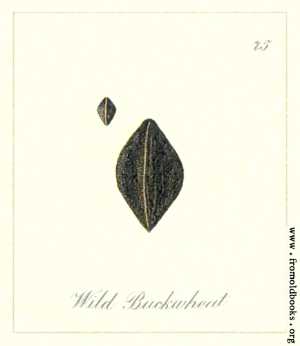 [Picture: 75. Wild Buckwheat Seeds]