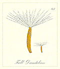 [picture: 65. Fall Dandelion Seeds]