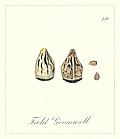 70. Field Gromwell Seeds