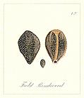 72. Field Bindweed Seeds