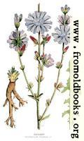[picture: 30.---Chicory, Cichorium Intybus, L.]
