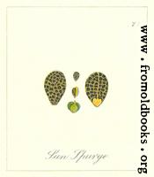 [picture: 77. Sun Spurge Seeds]