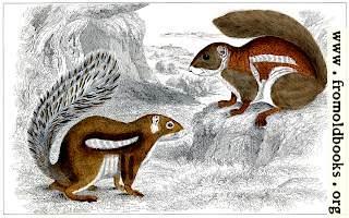 XXXV.—Squirrels.
