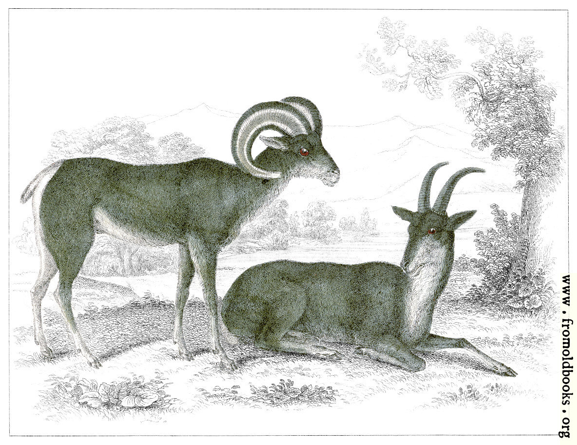 [Picture: XLIII..—Aragli or Big Horn.]