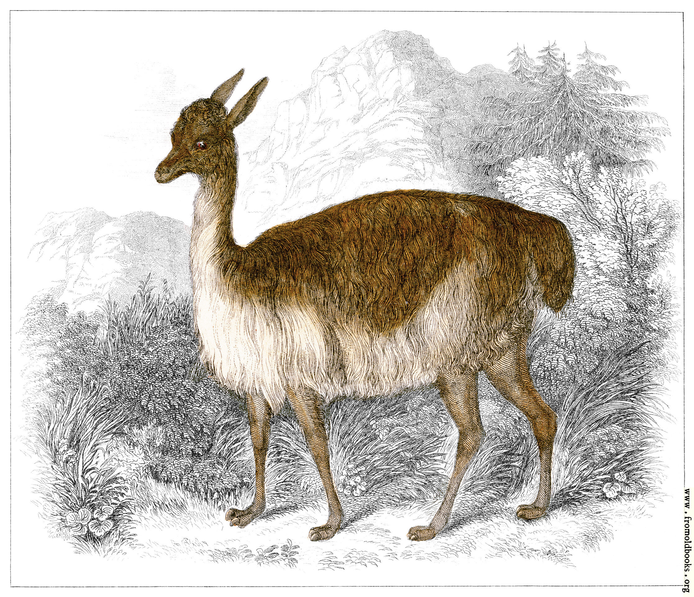 [Picture: XLIII.—Vicuña of Peru]