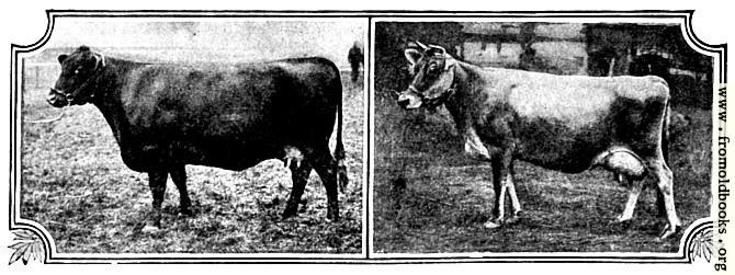 [Picture: British Breeds of Cattle I (3/3)]