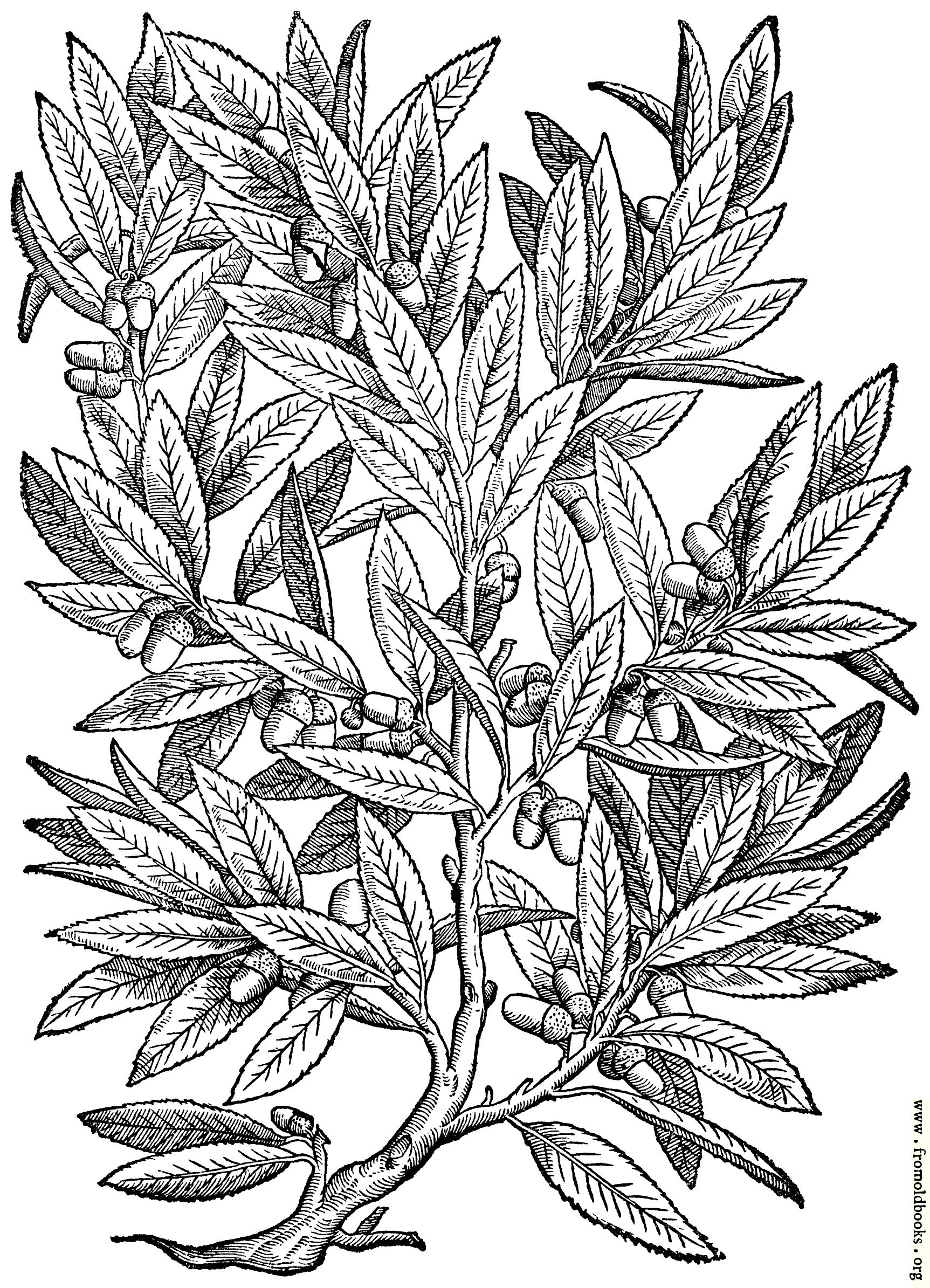 [Picture: 826.—Evergreen, Holly or Holm Oak.]