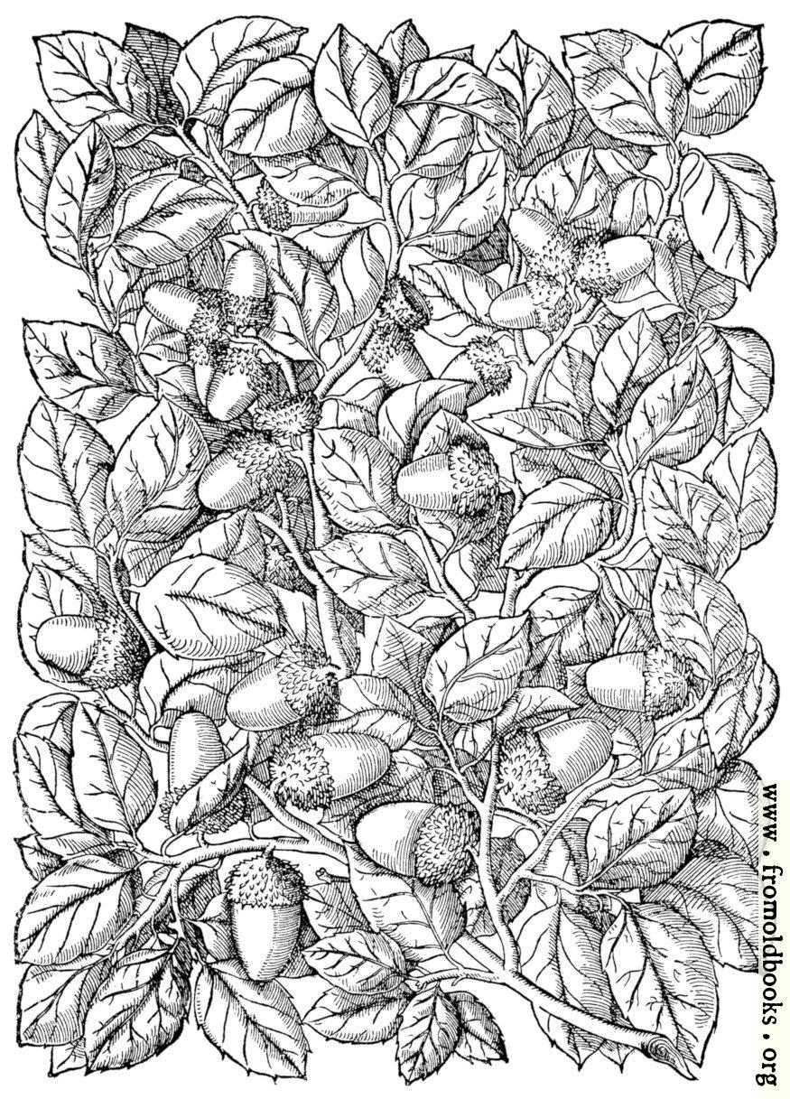 [Picture: Cork Oak, Quercus Suber]