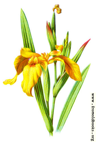 [Picture: Yellow Iris]