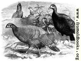 [picture: Pheasants]