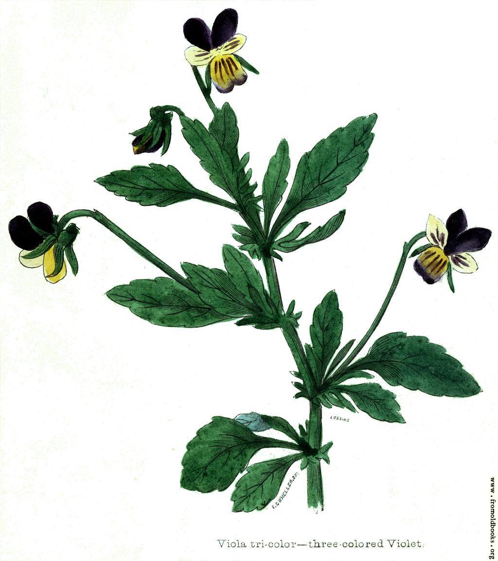 [Picture: Viola tricolour—three coloured Violet]