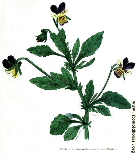 [Picture: Viola tricolour—three coloured Violet]