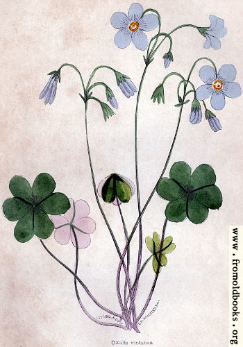 [Picture: Violet Wood-Sorrel]