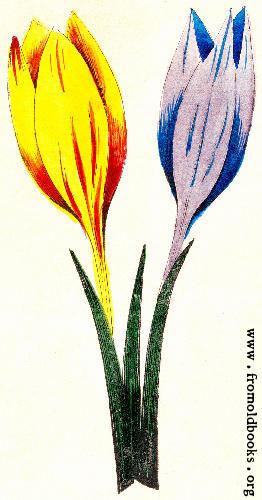 [Picture: Crocus Iriandia Monogynia]
