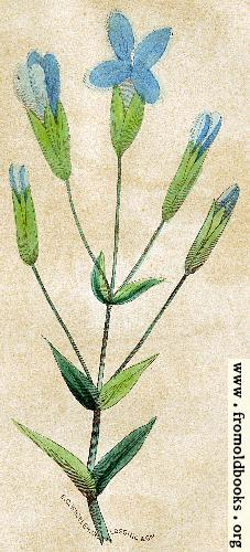 [Picture: Gentiana crinita [The Fringed Gentian]]