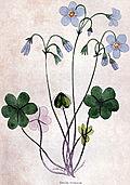 [picture: Violet Wood-Sorrel]