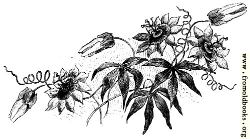 [Picture: Dark Passion Flowers]