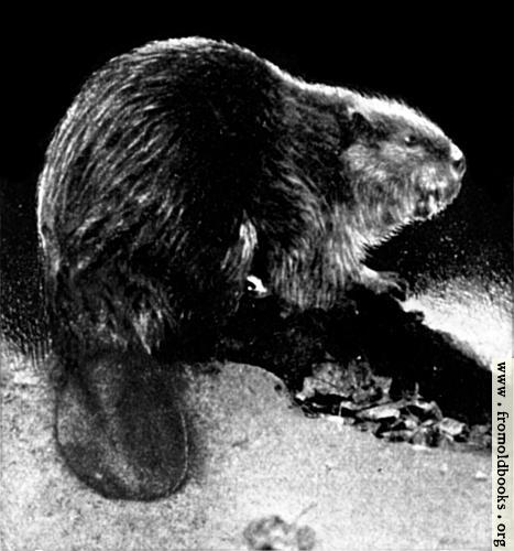 [Picture: Canadian Beaver (2 of 3)]
