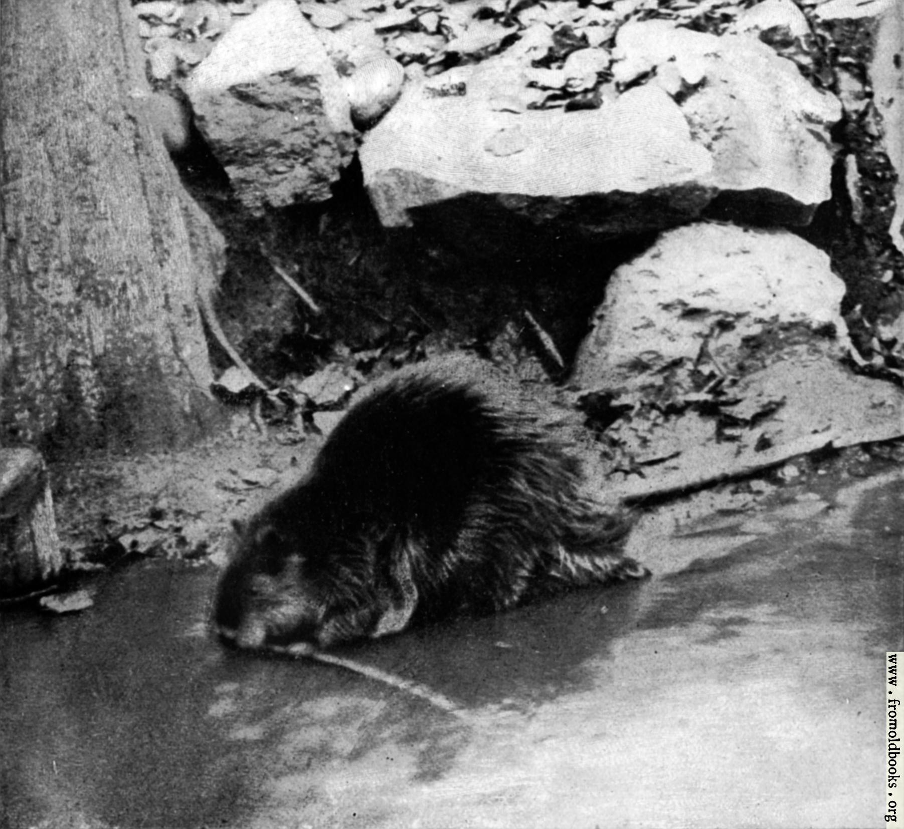 [Picture: Canadian Beaver (3 of 3)]