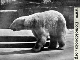 [Picture: Polar Bear (Thalarctos maritimus)]