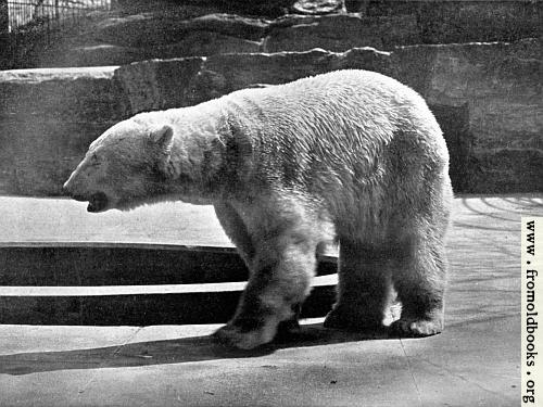 [Picture: Polar Bear (Thalarctos maritimus)]