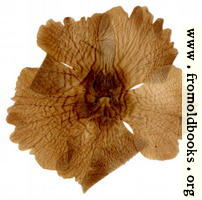 [picture: Harwood 6: pressed flower from the other side]