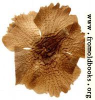 [picture: Harwood 5: pressed flower]